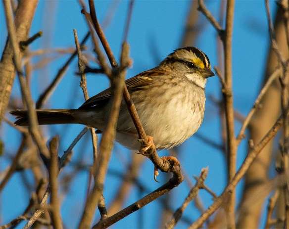 White Throated Sparrow 215
