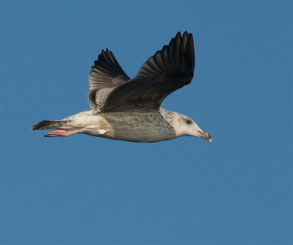 Black Backed Seagull 34