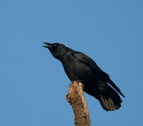 Crow 108