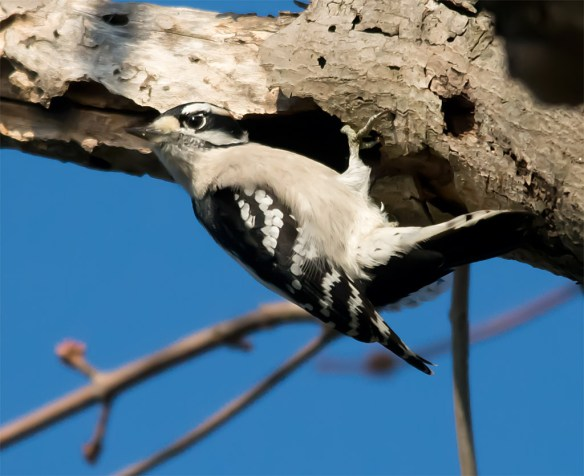 Downy Woodpecker 040