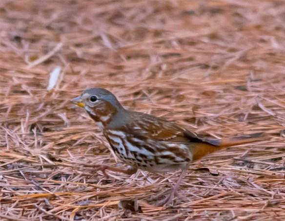 Fox Sparrow 100
