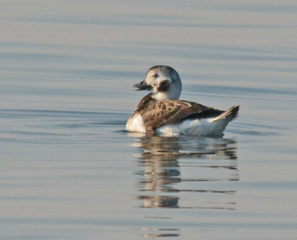 Long Tailed Duck 200