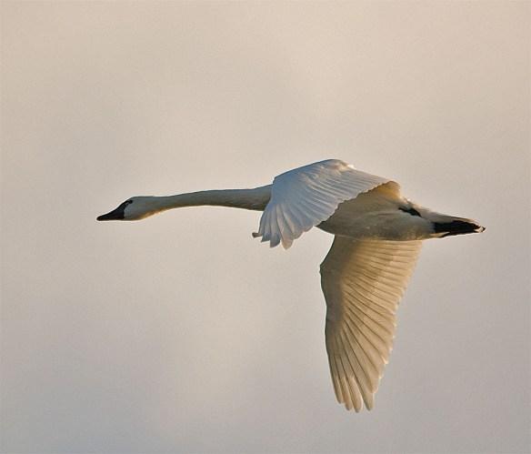 Tundra Swan 113