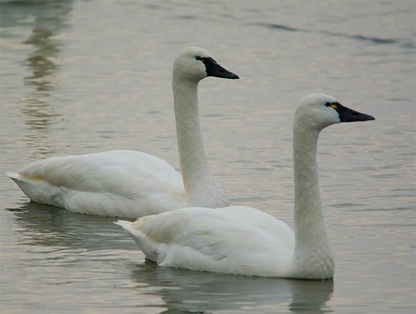 Tundra Swan 116