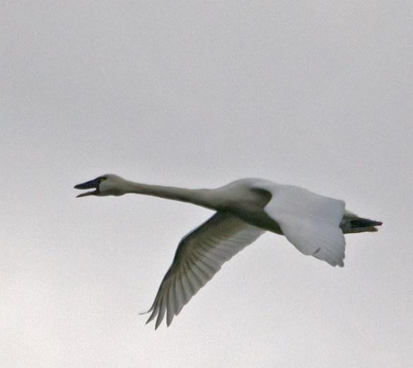 Tundra Swan 118