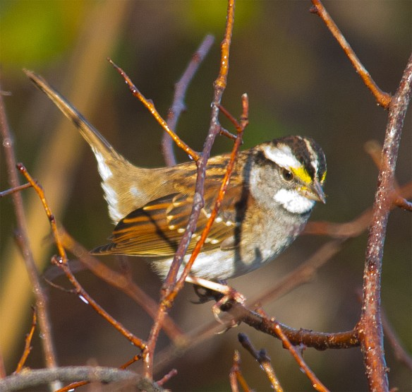 White Throated Sparrow 217