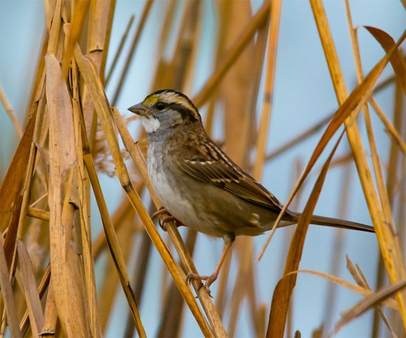 White Throated Sparrow 218