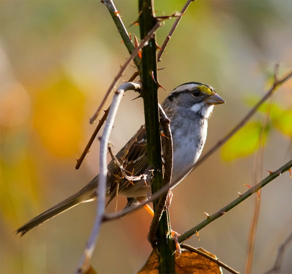 White Throated Sparrow 219 - Copy