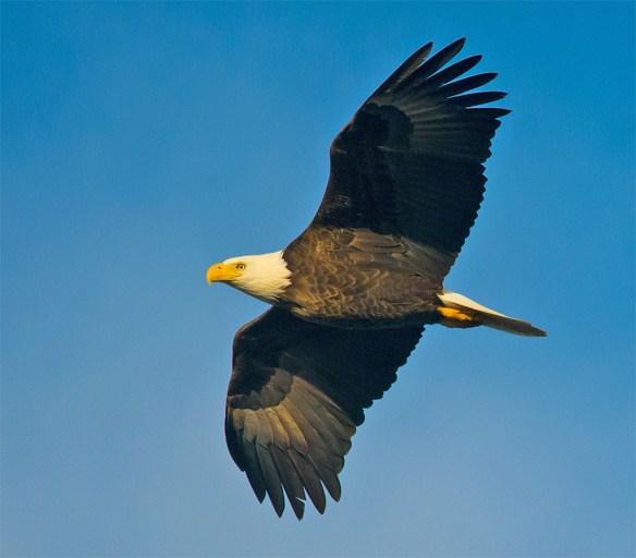 Bald Eagle 2016-10
