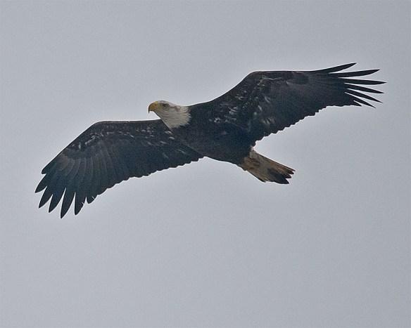 Bald Eagle 2016-9