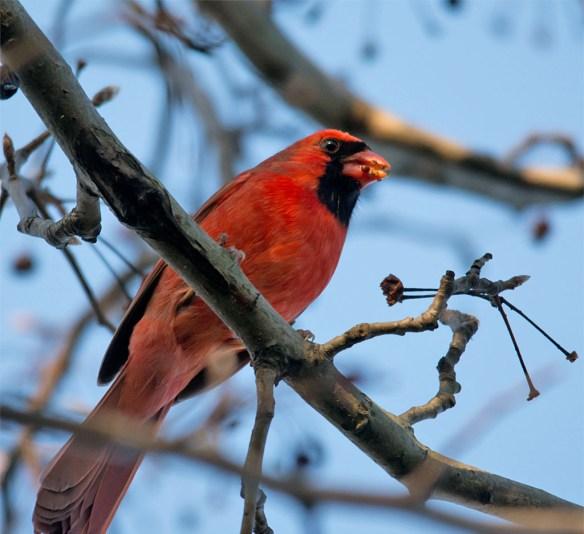 Cardinal 2016-1