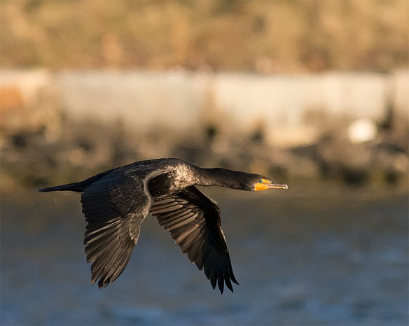 Double Crested Cormorant 2016-1