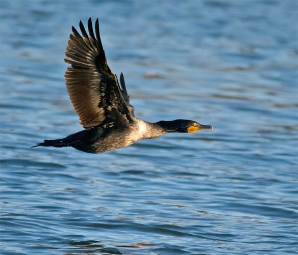 Double Crested Cormorant 2016-3