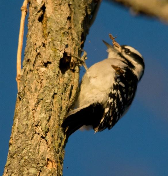 Downy Woodpecker 2016-2