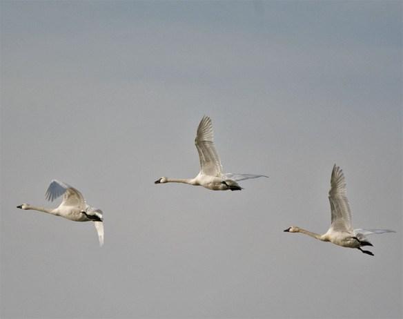 Tundra Swan 2016-7