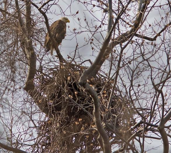 Bald Eagle 2016-14