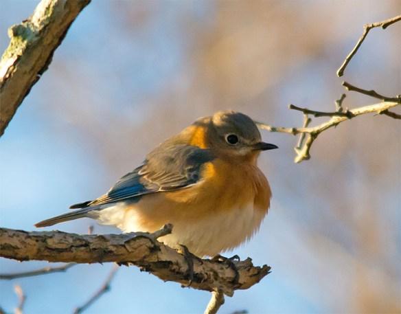 Bluebird 2016-2