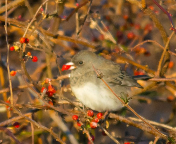 Dark Eyed Junco 2016-4