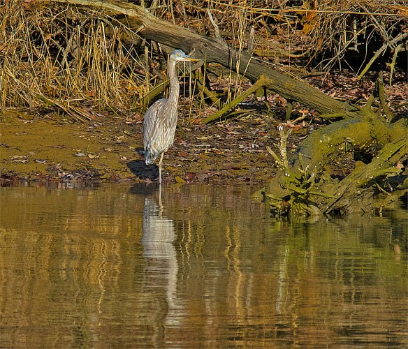 Great Blue Heron 2016-4