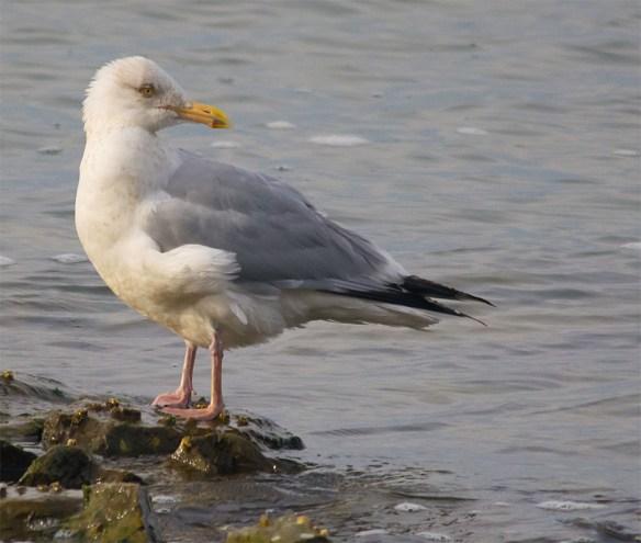 Herring Gull 2016-1