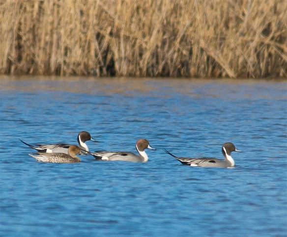 Northern Pintail 2016-5