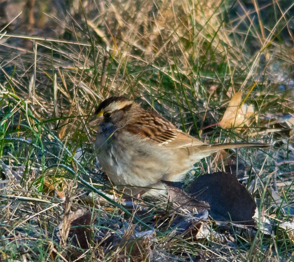 White Throated Sparrow 2016-6