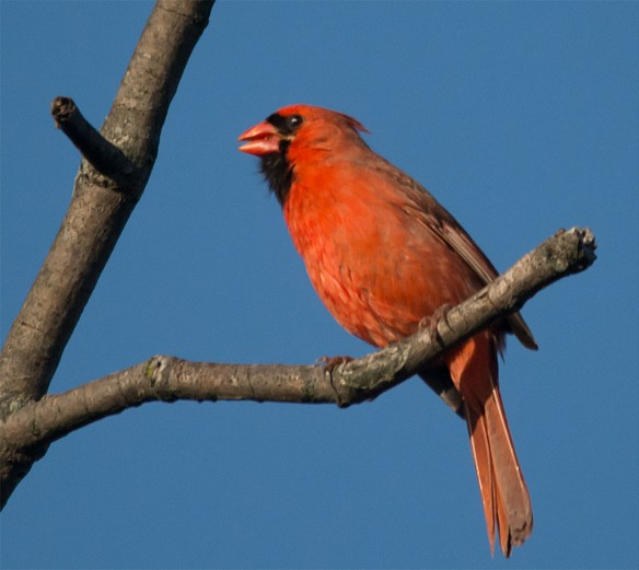 Cardinal 2016-2
