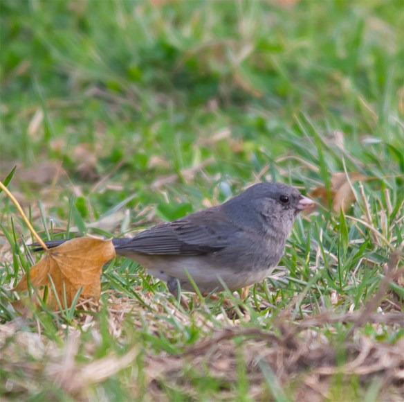 Dark Eyed Junco 2016-5