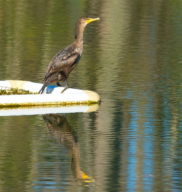 Double Crested Cormorant 2016-7