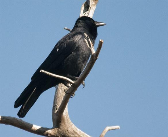 Fish Crow 2016-1