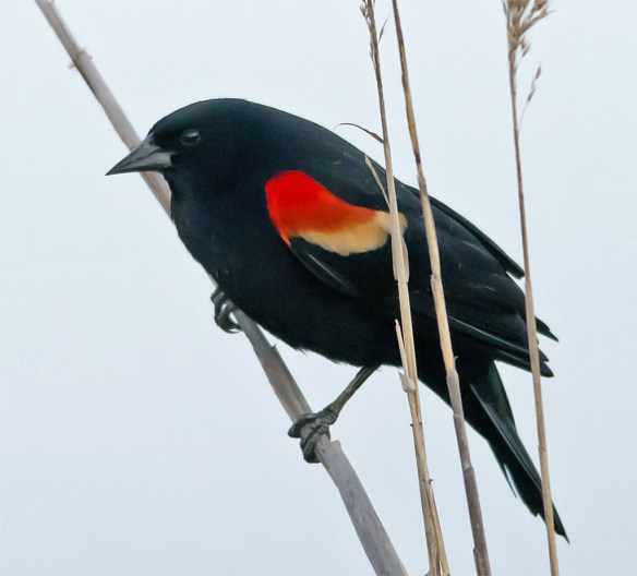 Red Winged Blackbird 2016-9