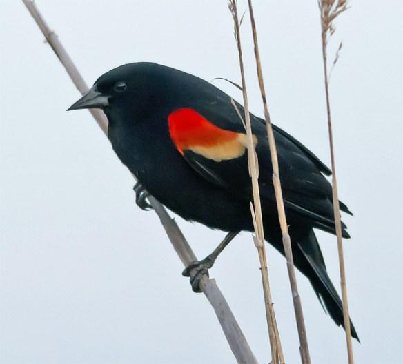 Red Winged Blackbird 2016-9