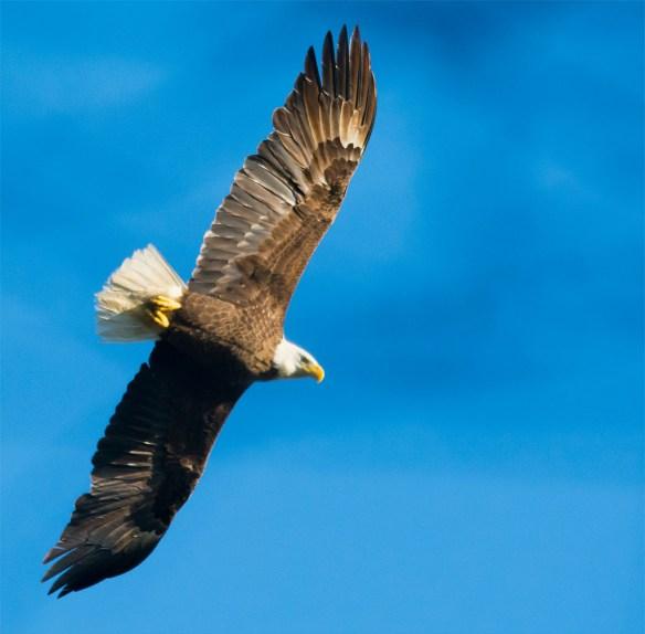 Bald Eagle 2016-42