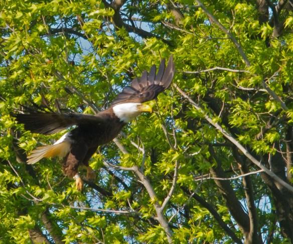 Bald Eagle 2016-46