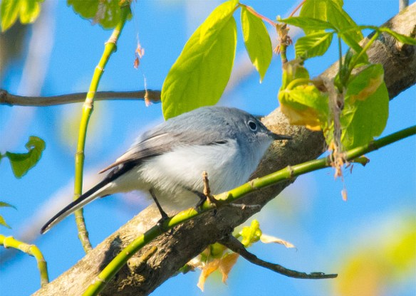 Blue Gray Gnatcatcher 2016-1