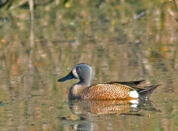 Blue Winged Teal 2016-4