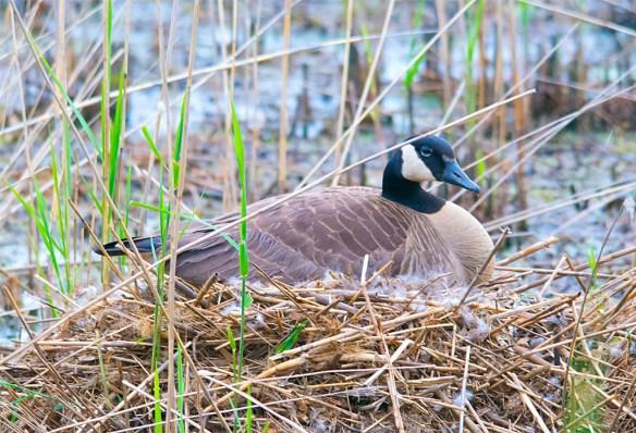 Canada Goose 2016-14