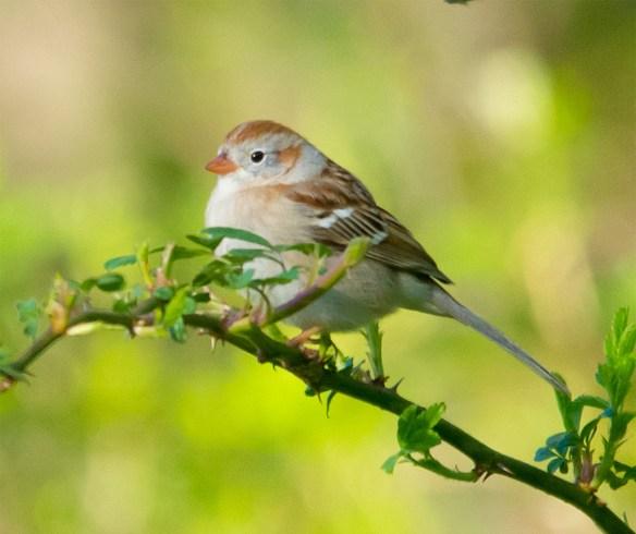 Field Sparrow 2016-2
