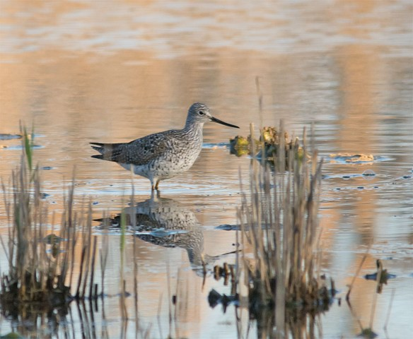 Lesser Yellowlegs 2016-9