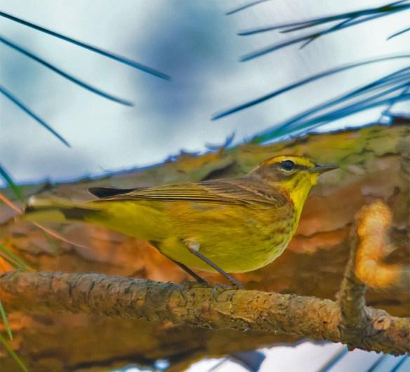 Palm Warbler 2016-2
