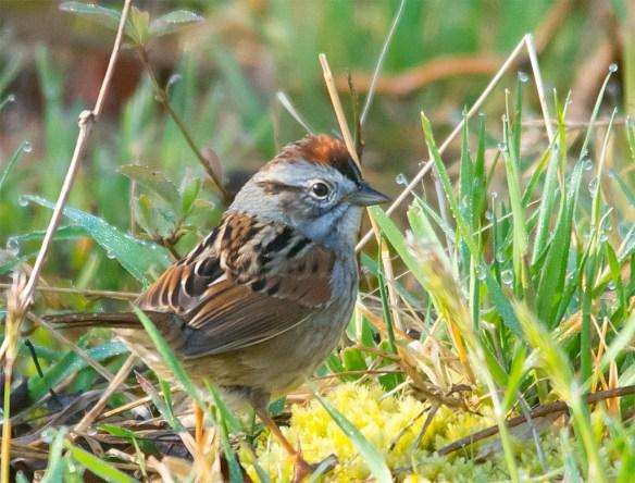Swamp Sparrow 20126-2