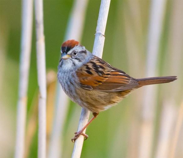 Swamp Sparrow 2016-6