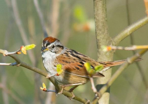 Swamp Sparrow 2016-8