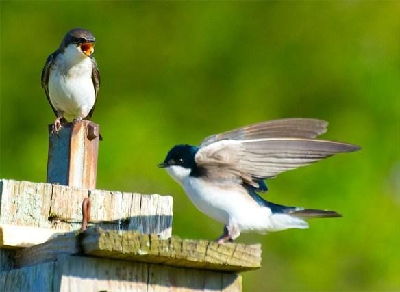 Tree Swallow 2016-18