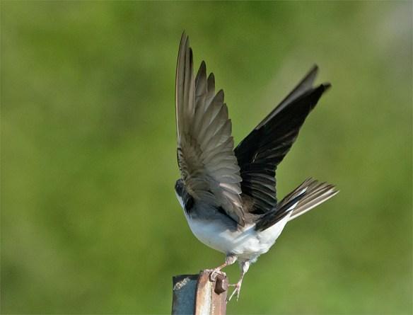 Tree Swallow 2016-20