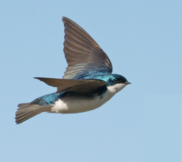 Tree Swallow 2016-23