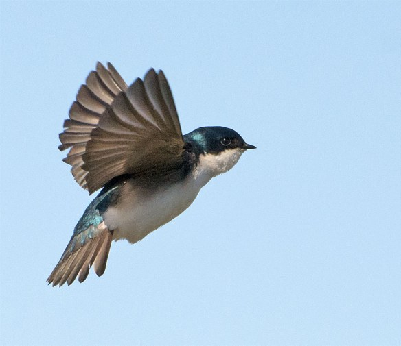 Tree Swallow 2016-26