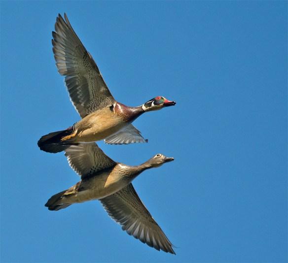 Wood Duck 2016-19
