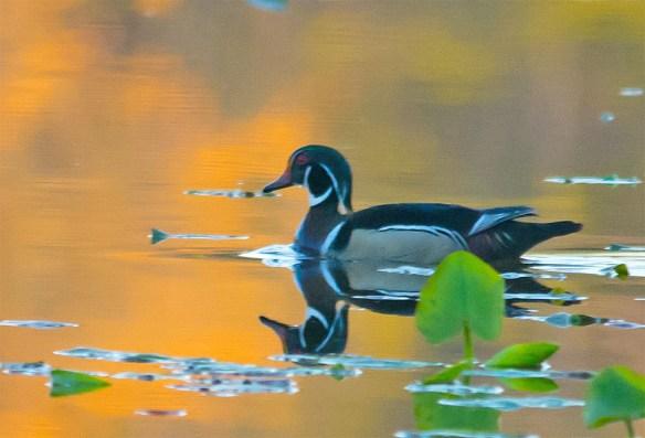 Wood Duck 2016-22