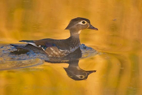 Wood Duck 2016-27